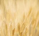 Пшенични пръчици